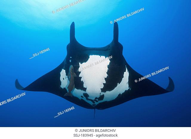 Giant Oceanic Manta Ray (Manta birostris), adult under water with suckerfish. Socorro, Revillagigedo Islands, Mexico