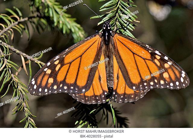 Monarch butterfly (Danaus plexippus), winter quarters at Oyamel fir, El Rosario, Monarch Butterfly Biosphere Reserve, Mariposa Monarca, Angangueo, Michoacán