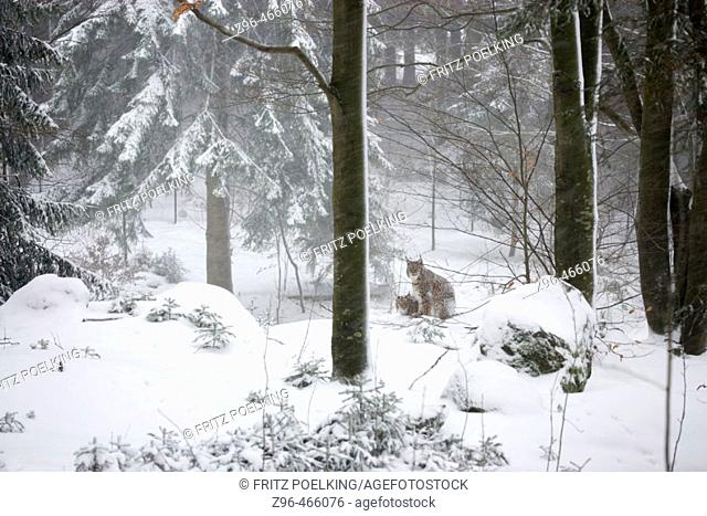 European Lynx, winter, national park Bavarian Forest, captive, Germany