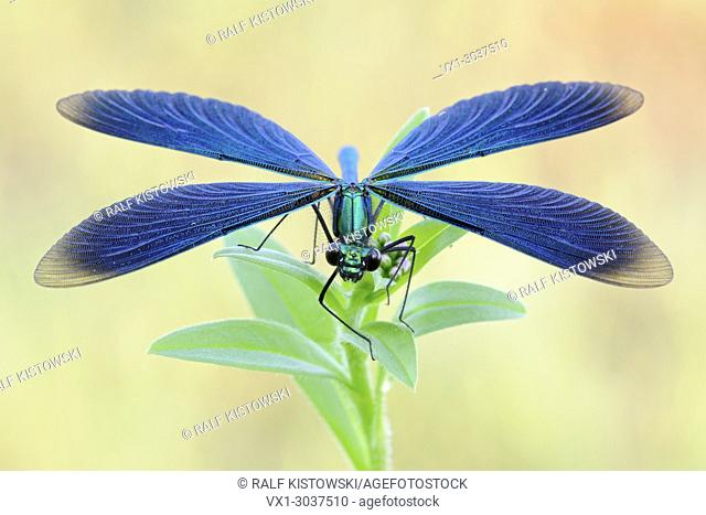 Beautiful Demoiselle ( Calopteryx virgo ), beautiful blue damselfly, male, showing details of its wings, Europe