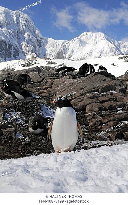 Antarctica,Antarctic,Jougla Point,port Lockroy,cliff,glacier,penguins