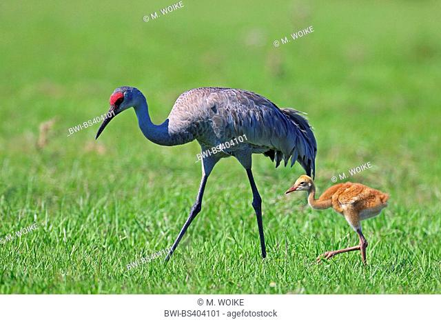 sandhill crane (Grus canadensis), on the feed with chick, USA, Florida, Kissimmee