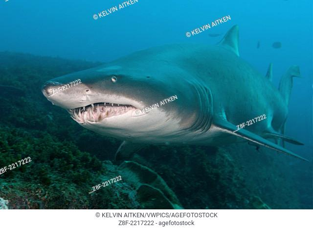 Grey Nurse Shark (Carcharias taurus) Large adult patrolling along rocky reef wall. Australia Fish Rock