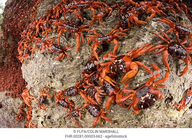 Christmas Island Red Crab Gecarcoidea natalis adults, mass on sea cliff rocks during annual migration, Christmas Island, Australia