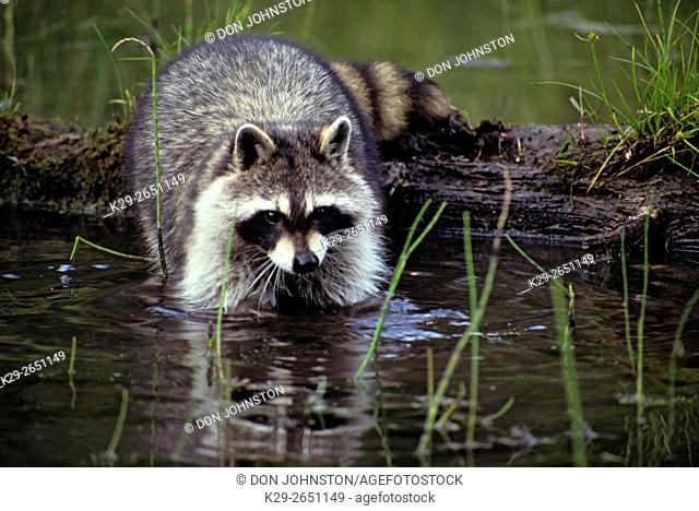 Raccoon (Procyon lotor) captive raised, Columbia Falls, Montana, USA