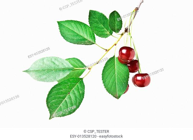 branch with berries cherry isolated