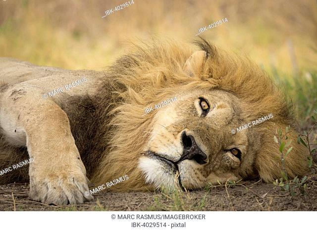 Lion (Panthera leo), adult male with a long mane, lying down, Okavango Delta, Botswana