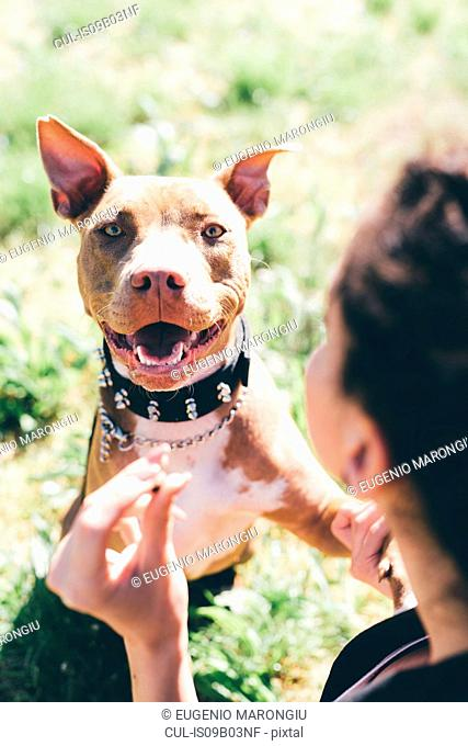 Over the shoulder portrait of pit bull terrier with female owner
