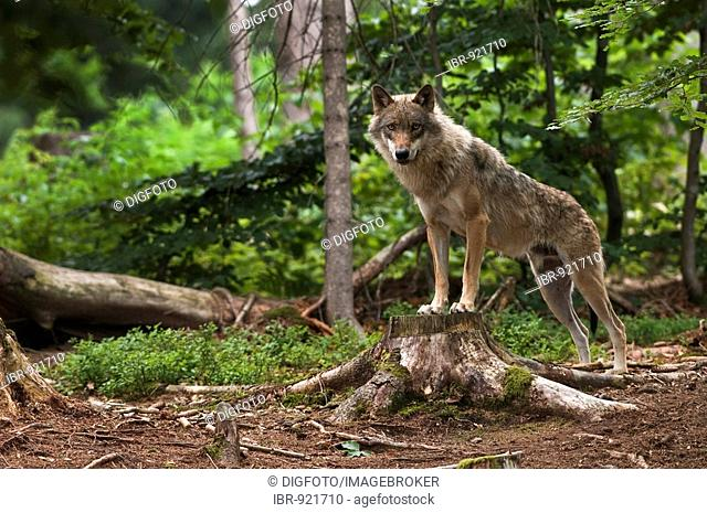 European Wolf (Canis lupus lupus), outdoor enclosure, Bavarian Forest, Bavaria, Germany, Europe