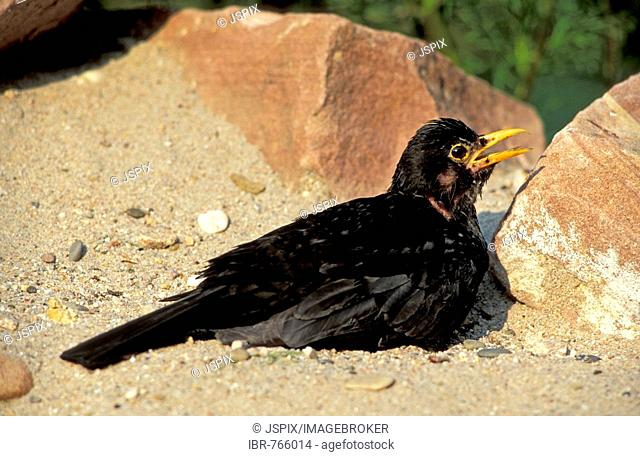 Common or Eurasian Blackbird (Turdus merula), having a sand bath, Heddesheim, Germany