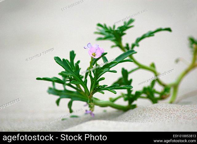 Blüte des Meersenfs