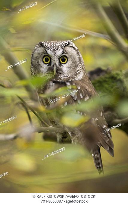 Beautiful Boreal Owl (Aegolius funereus) sitting in a tree in the midst of autumnal coloured yellow leaves with its eyes wide open, Germany, Europe