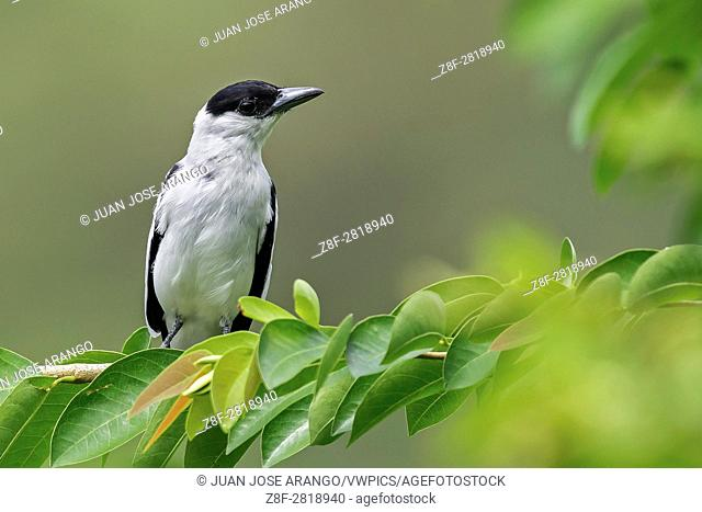 Black-crowned Tityra (Tityra inquisitor) male, Puerto Triunfo, Antioquia