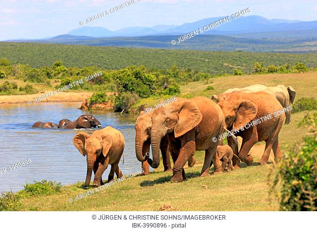 African Elephants (Loxodonta africana), group with young animals, at the water, Addo Elephant National Park, Eastern Cape, South Africa