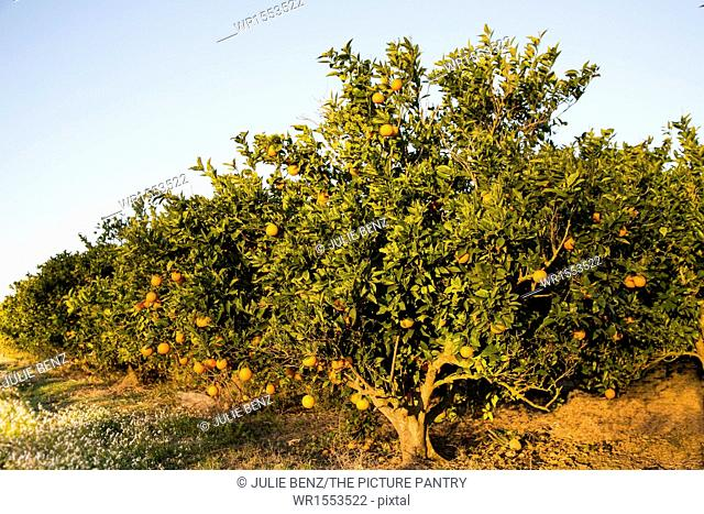 Orange trees, Mallorca, showing ripening fruit, in March