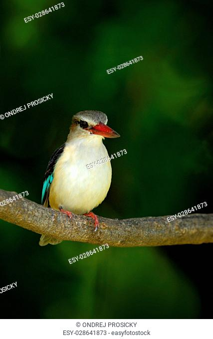 Brown-hooded Kingfisher, Halcyon albiventris