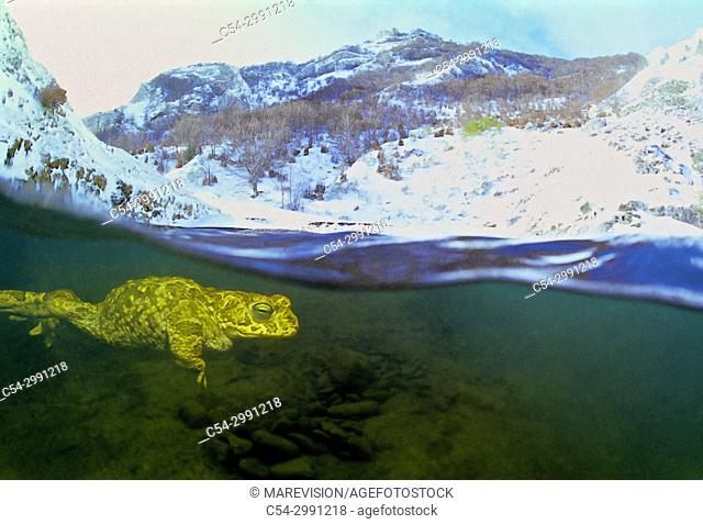 Common midwife toad. Nurse frog (Alytes obstetricans). Rio Braña. Los Collainos. La Raya. Puerto de San Isidro. Asturias. Spain. Europe