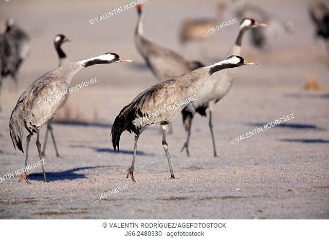 Cranes (Grus grus) poised to take flight in the wildlife reserve Gallocanta. Zaragoza. Spain
