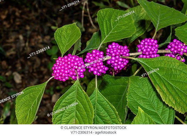 Beauty Berry (Callicarpa americana) Berries and Leaves