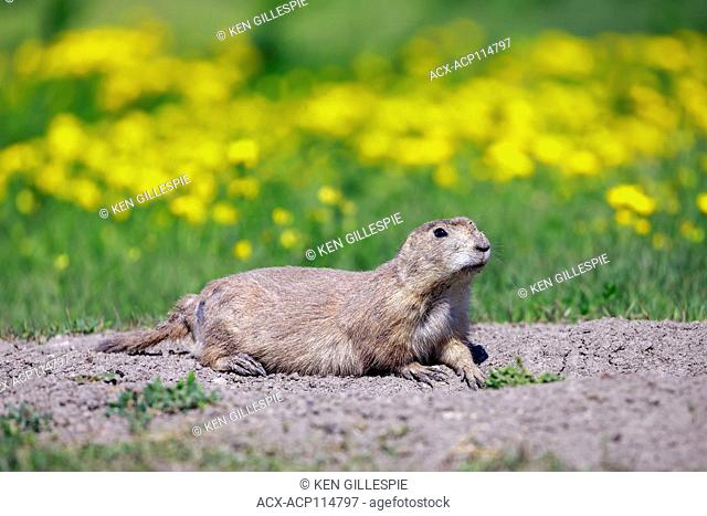 Black-tailed Prairie Dog on it's burrow, Manitoba, Canada
