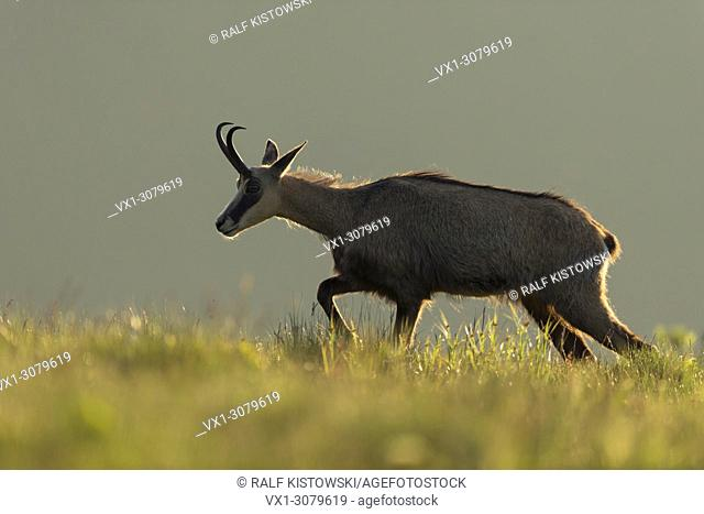 Chamois ( Rupicapra rupicapra ) in first morning light, walks along the edge of a mountain meadow, nice backlight situation, wildlife, Europe