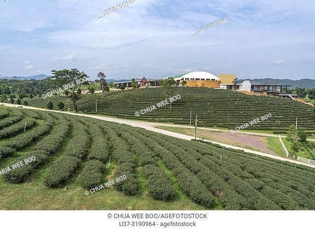 Scenic view of Choui Fong tea plantation, Thailand