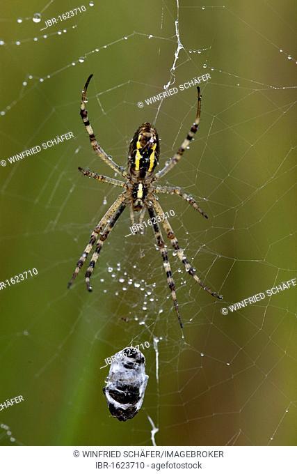 Wasp spider (Argiope bruennichi), female sitting in its spiderweb next to its prey covered with rain drops