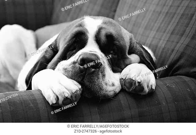 St bernard dog lying on settee