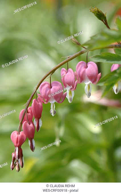 Bleeding heart, close-up
