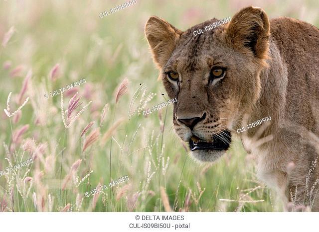 Lioness (Panthera leo) walking, Tsavo, Coast, Kenya