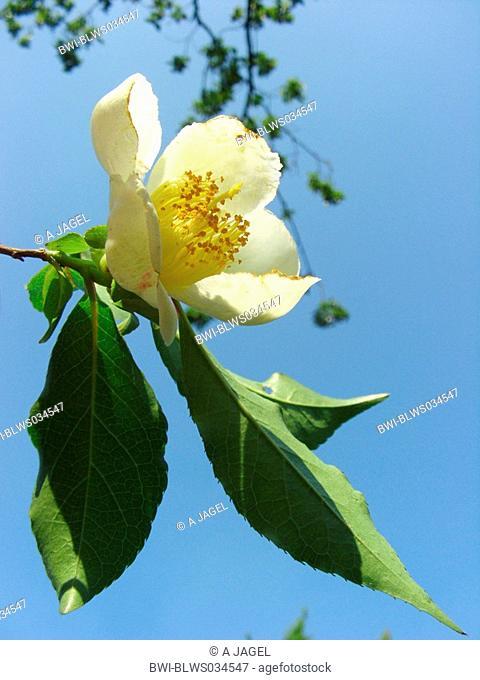 Japanese stewartia Stewartia pseudocamellia, branche with flower aganist blue sky