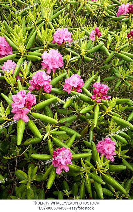 Rhododendron, Round Bald, Appalachian Trail, TN-NC