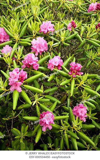 Rhododendron, Round Bald, Appalachian Trail, TN-NC
