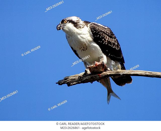 An osprey, Pandion haliaetus, is in the middle of having a fish for his meal up in a tree, Pennsylvania, USA