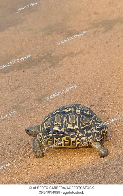 Spek's Hingeback,Sabi Sand Game Reserve, Kruger National Park, Mpumalanga, South Africa, Africa