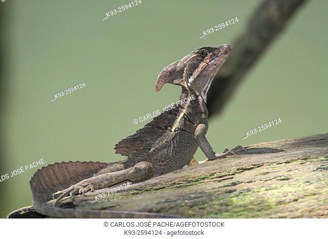 Un Basilisco Común (Basiliscus basiliscus). Parque Nacional de Corcovado, Costa Rica