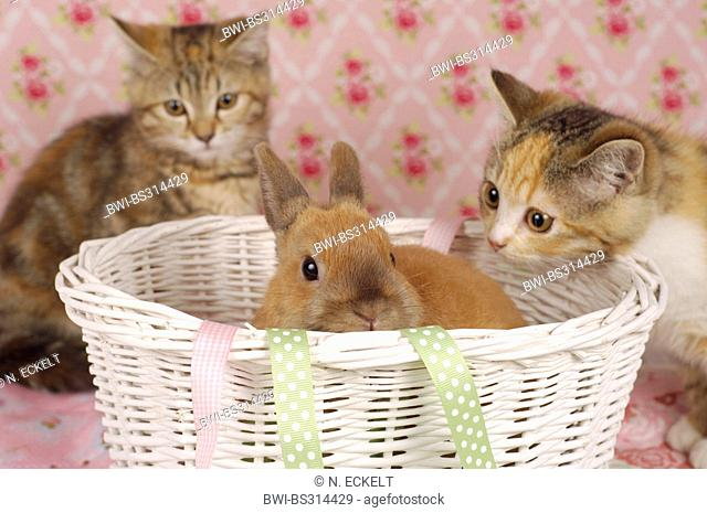 Netherland Dwarf (Oryctolagus cuniculus f. domestica), two kitties making friends with a rabbit baby