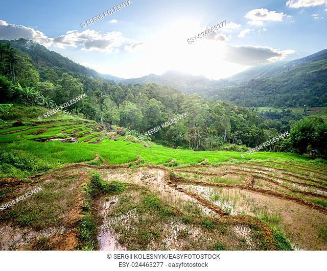 Green rice fields in mountains of Sri Lanka