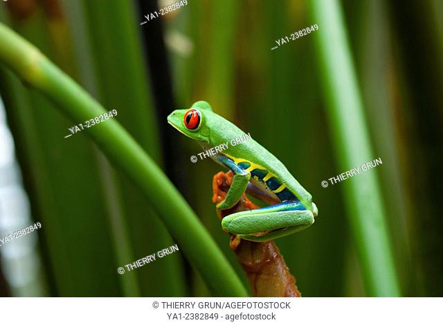Costa Rica. National park of Tortuguero, red eyes tree frog (Agalychnis callidryas)