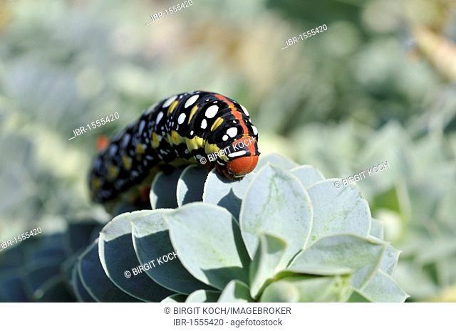 Spurge Hawk-moth caterpillar (Hyles euphorbiae) on Myrtle Spurge, Creeping Spurge or Donkey Tail (Euphorbia myrsinites)