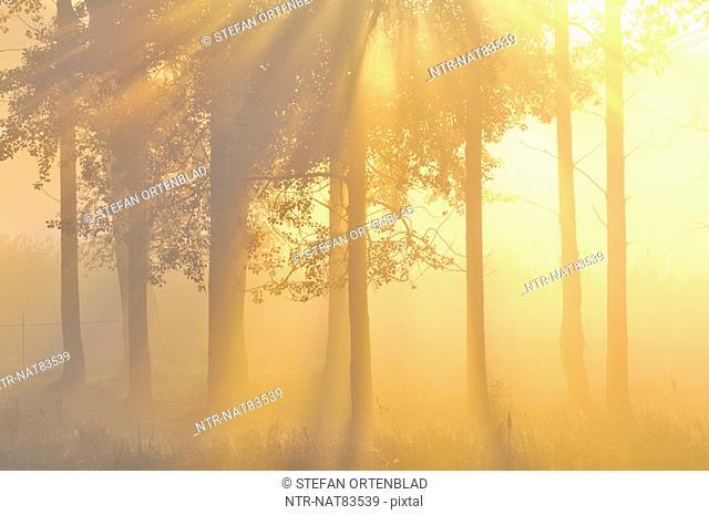 Sunrise in forest, Sweden