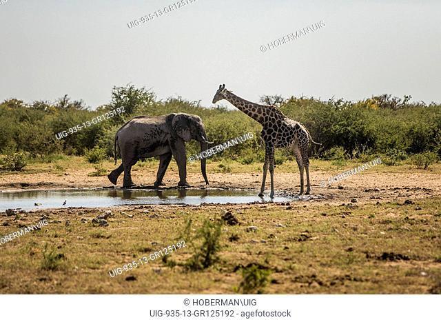 African Bull Elephant And Giraffe At Waterhole