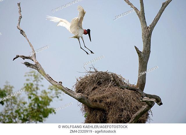 A Jabiru stork (Jabiru mycteria) landing on nest in a tree near the Pouso Alegre Lodge in the northern Pantanal, Mato Grosso province of Brazil