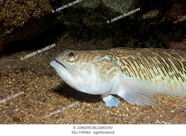 Greater Weever (Trachinus draco) on the seabed. Mediterranean Sea, Sardinia, Italy