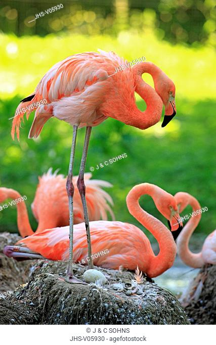 American Flamingo, Phoenicopterus ruber ruber, South America, group of adults breeding