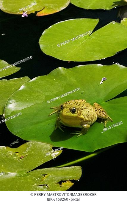 Green Frog (Rana clamitans) resting on a lily pad on the surface of a pond, Laurentians, Quebec Province, Canada