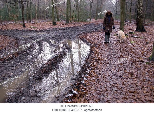 Domestic Dog, Golden Retriever, adult, walking on lead held by woman owner, beside muddy waterlogged track in woodland, Hockeridge Wood, Berkhamsted