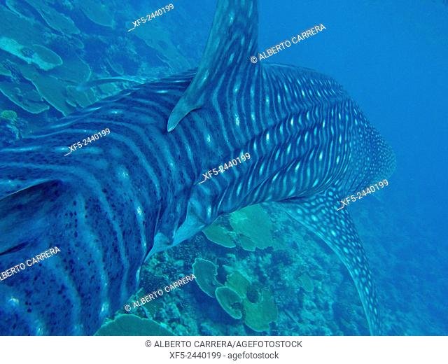 Whale Shark, Rhincodon typus, South Ari Atoll, Maldives, Indian Ocean, Asia