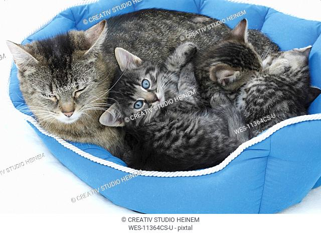 Domestic cats, Cat family lying in blue basket, elevated view