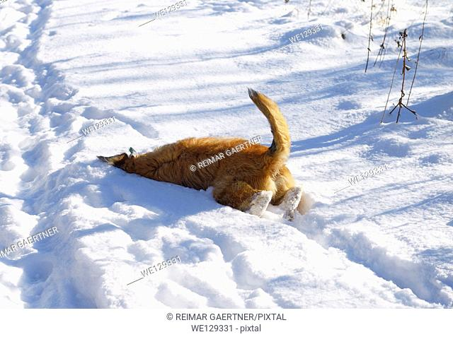 Pet dog on a walk burrowing into the snow to remove burrs from face